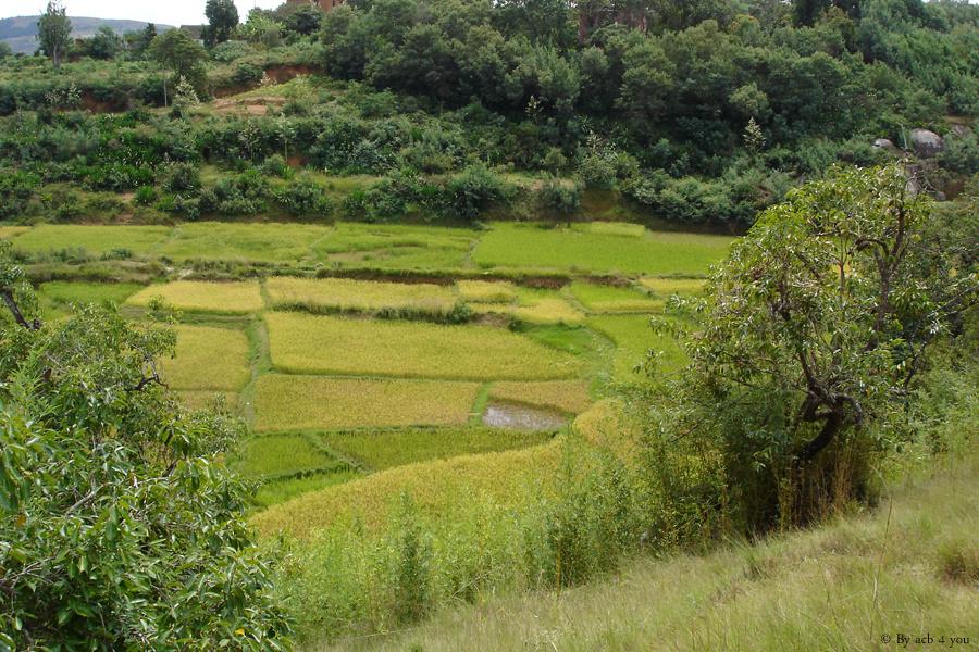 Rizières à côté du village d'Ambohimalaza, province d'Antananarivo