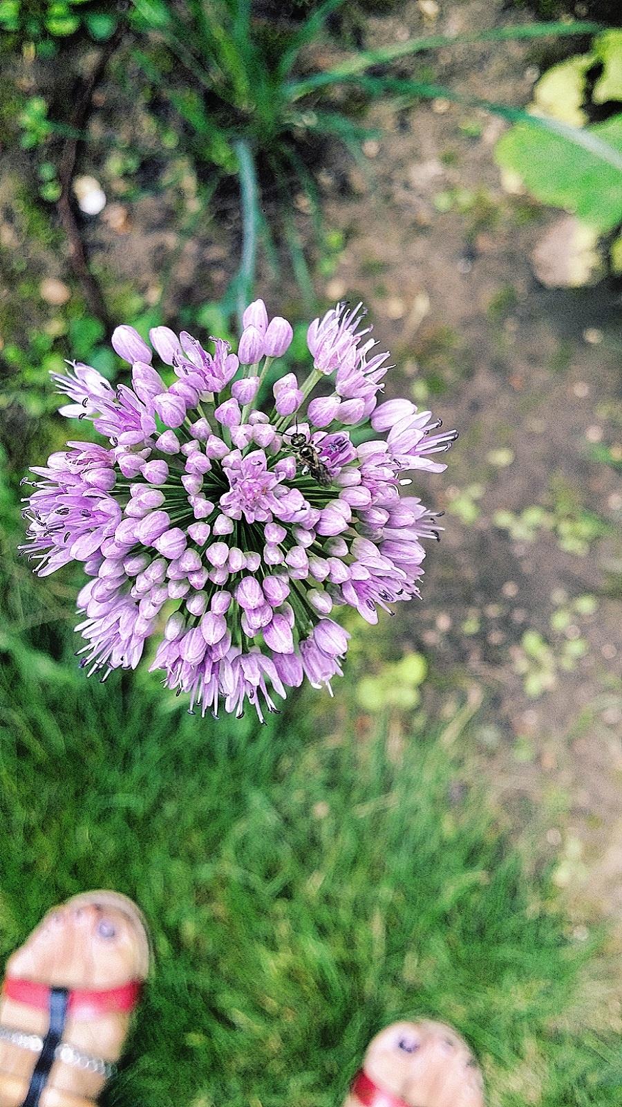 Fleur d'aillet