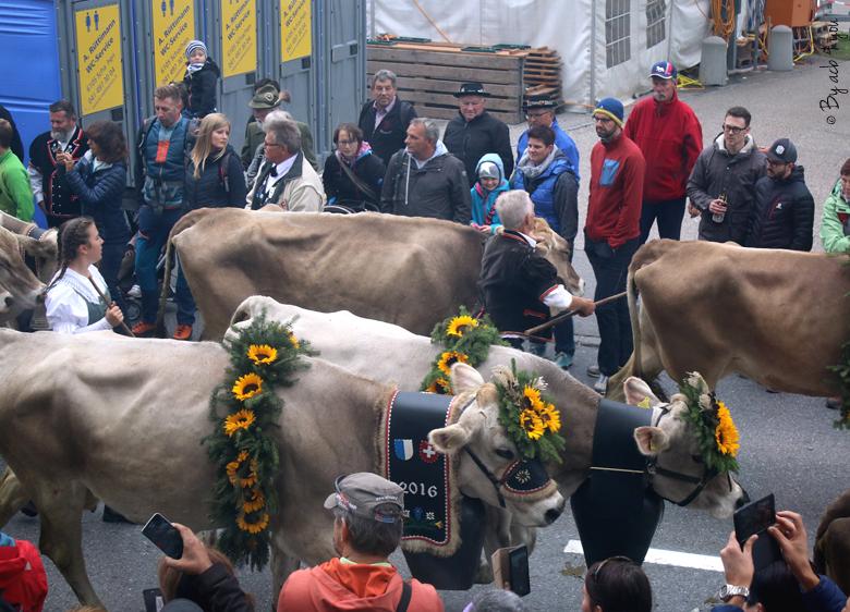 Vaches de la désalpe en Suisse