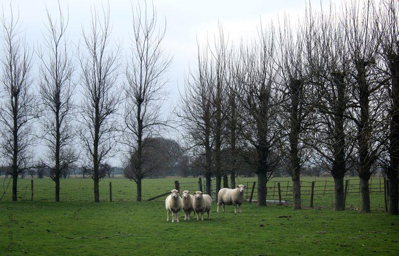 Moutons dans un pré anglais
