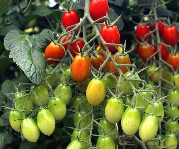 Petites tomates allongées
