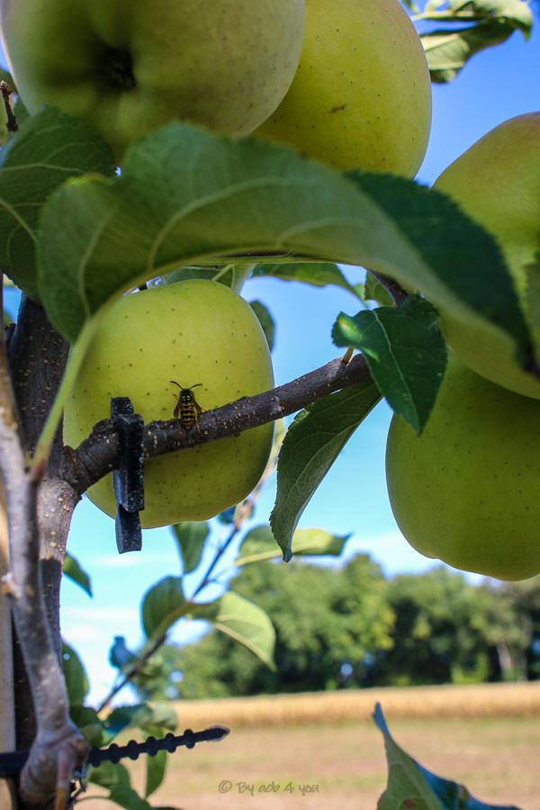 Sur la route des pommes du Limousin AOP